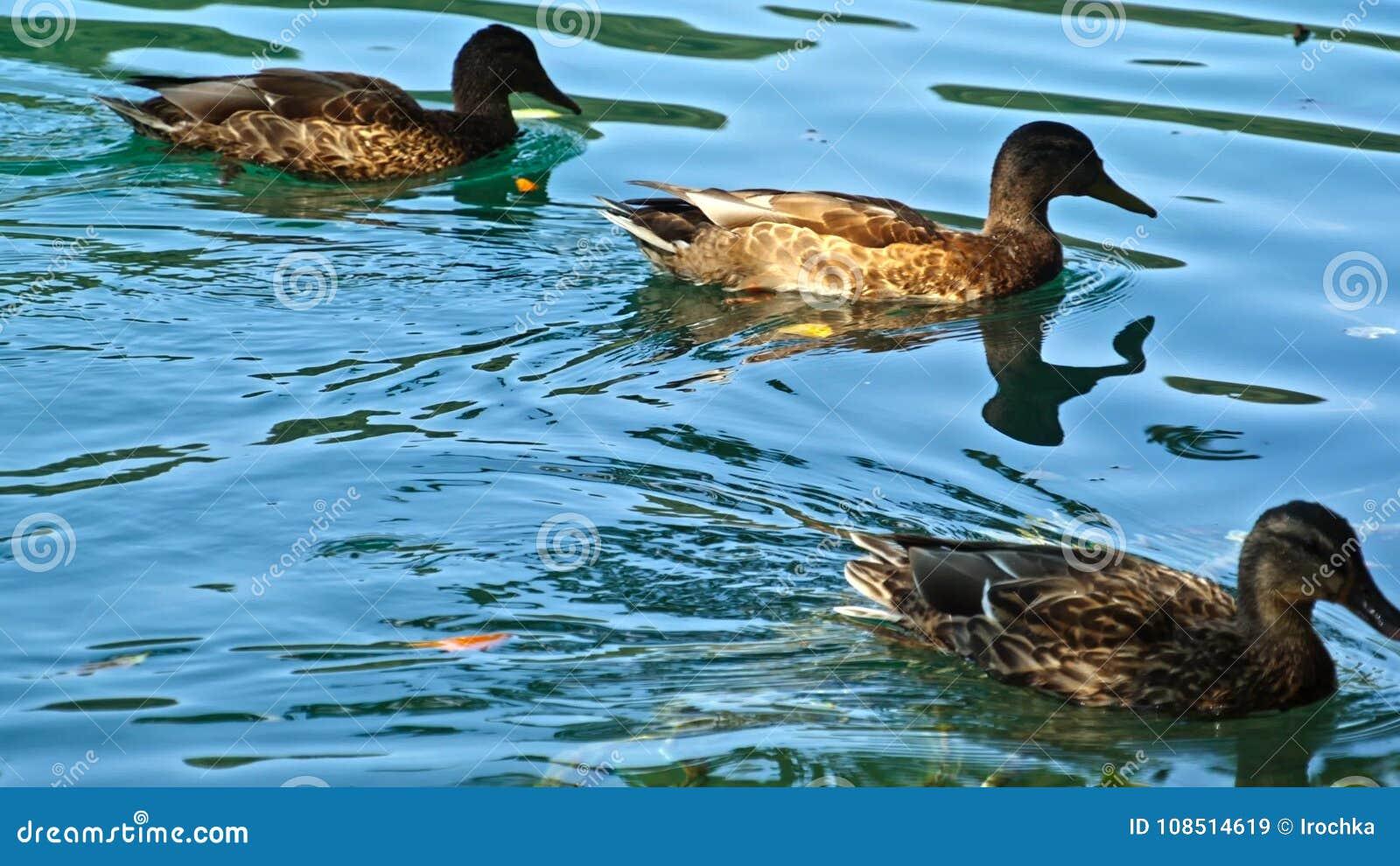 Ducks on the Plitvice Lakes in Croatia