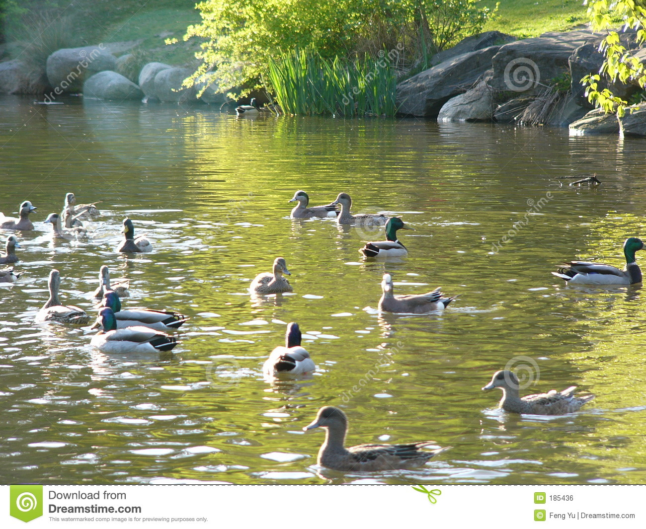 Ducks And Pond Royalty Free Stock Image Image 185436