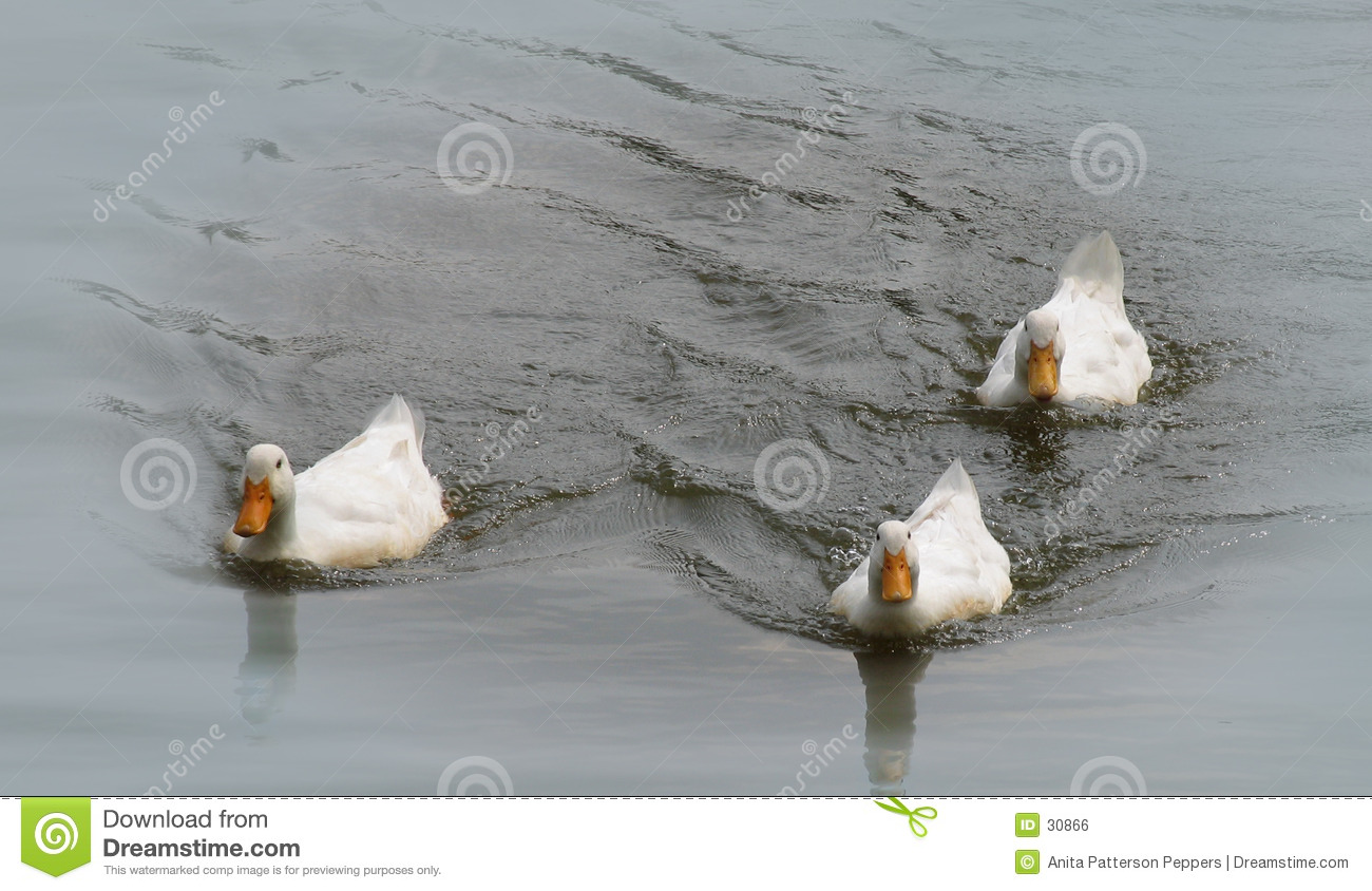Ducks on a pond