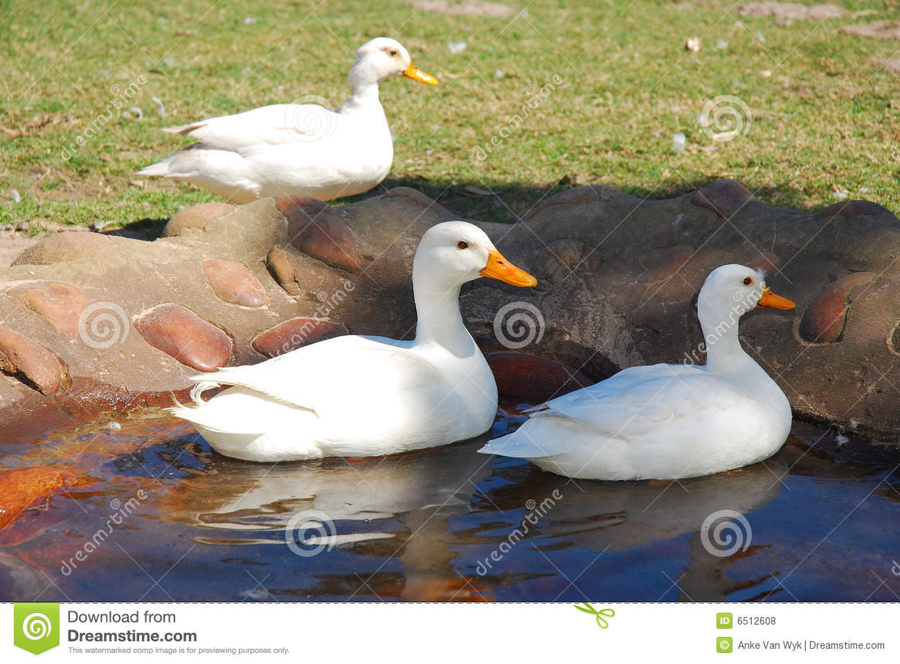 Ducks in pond stock photo image of three animal family for Duck pond water