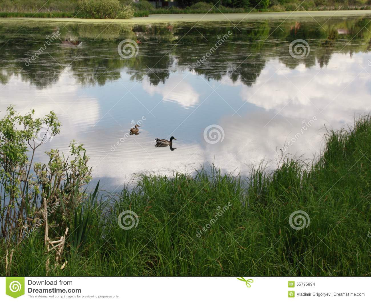 Ducks on pond royalty free stock photo for Pond dealers