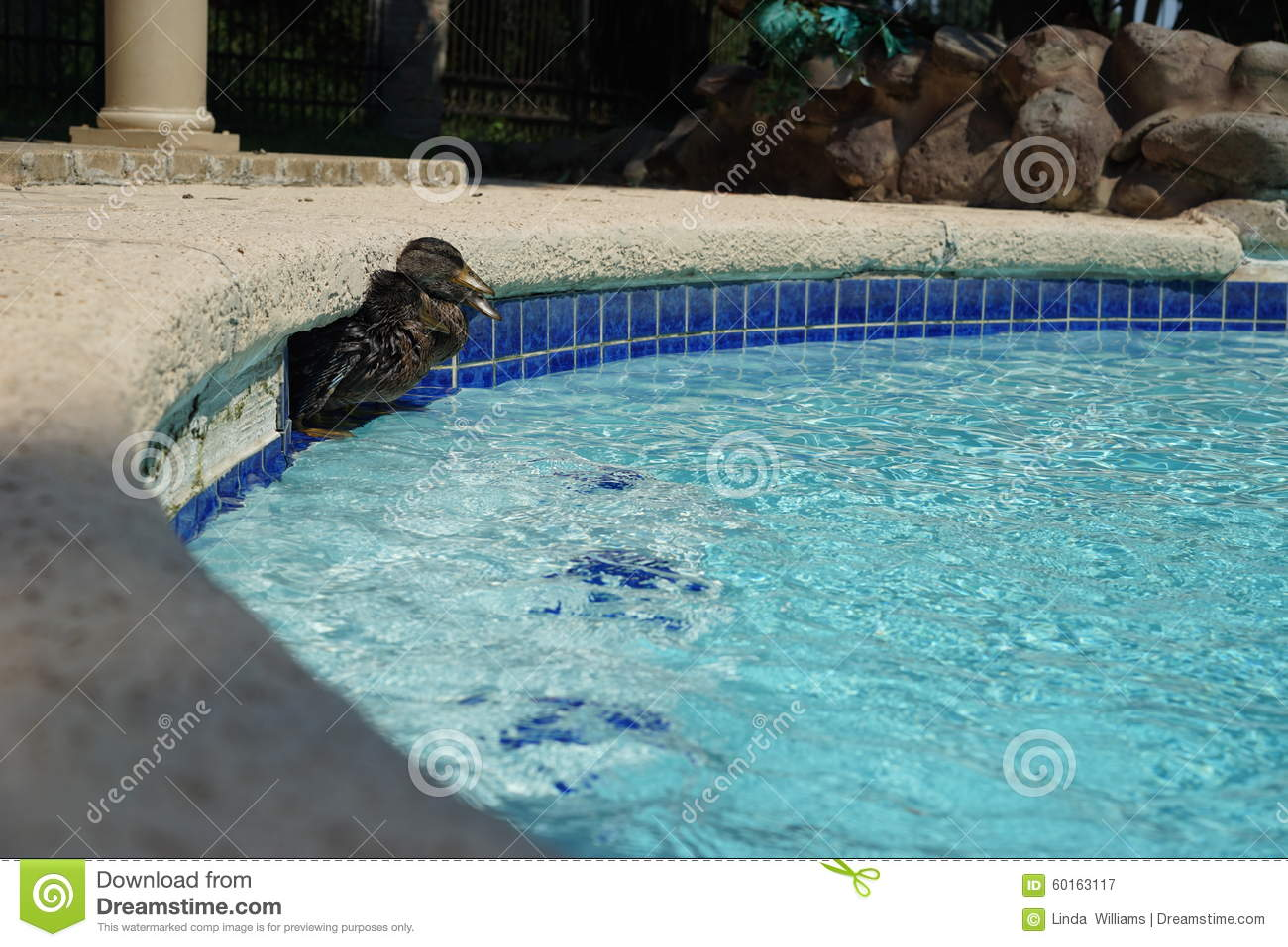 Ducks in pool filter inlet stock photo image 60163117 - Find me a swimming pool ...