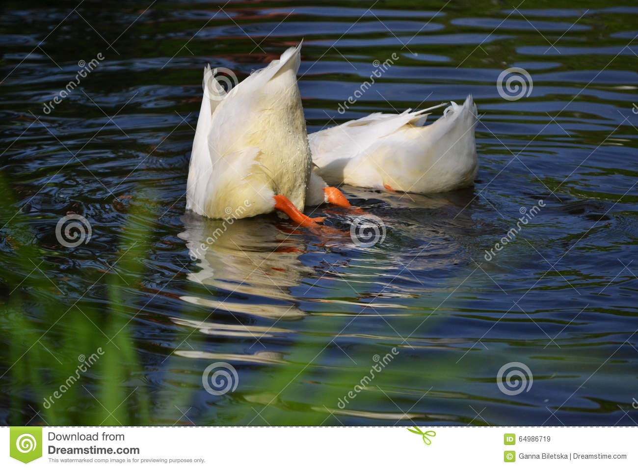 Ducks swim in river dive for fish stock photo image for Fishing for ducks
