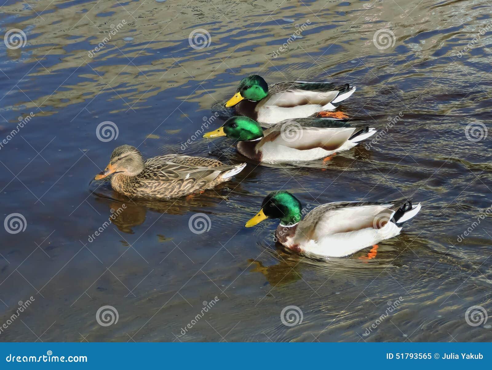 Ducks Swimming. Stock Photo - Image: 51793565