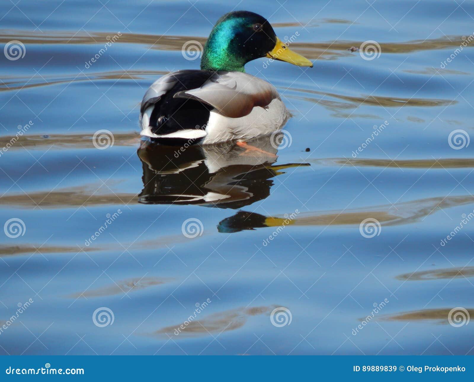 Ducks Swimming On The Water Stock Photo - Image: 89889839