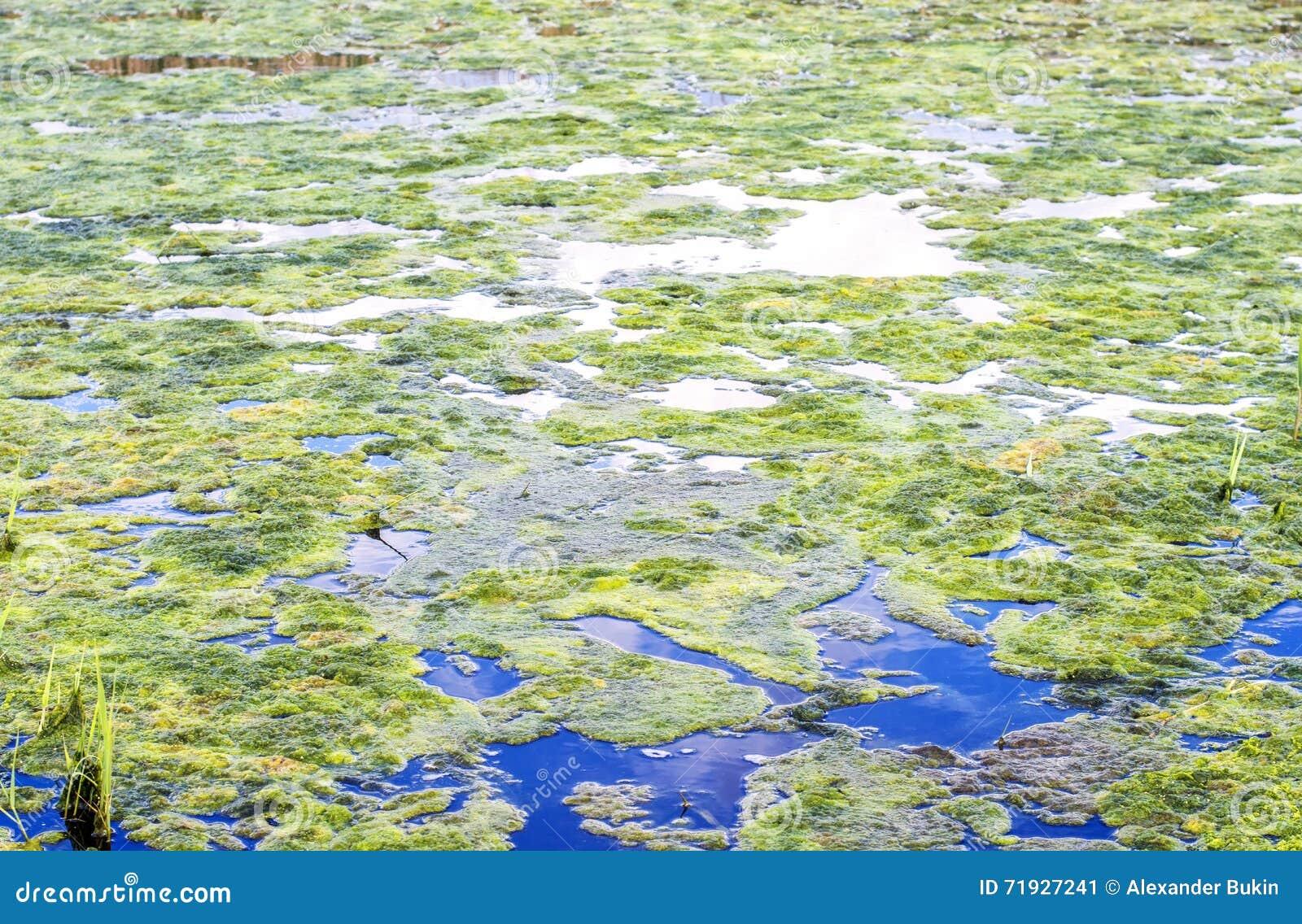 Duckweed и водоросли на реке и пруде