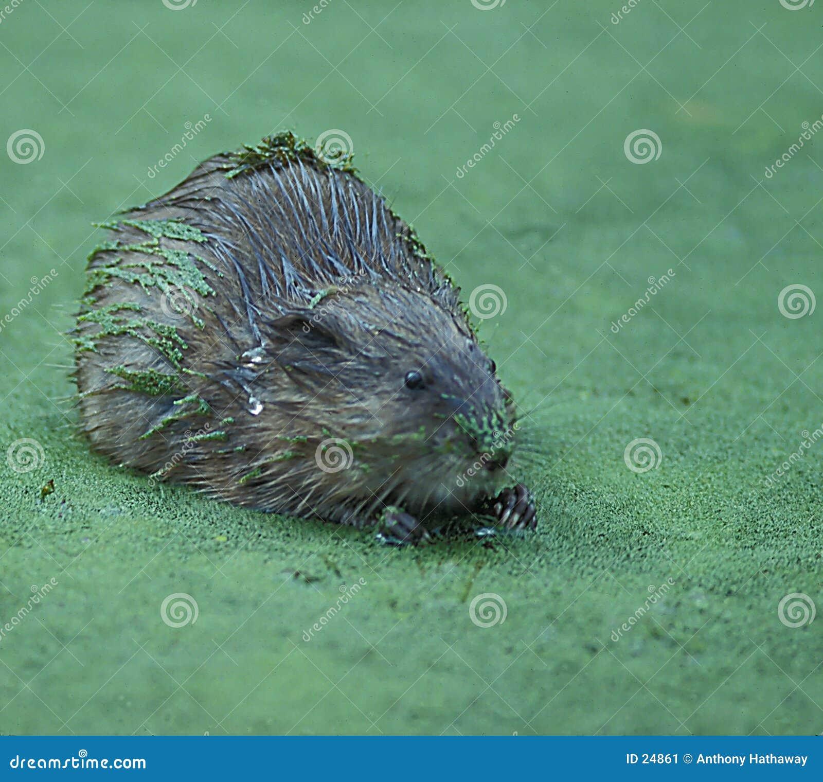 Duckweed muskrat