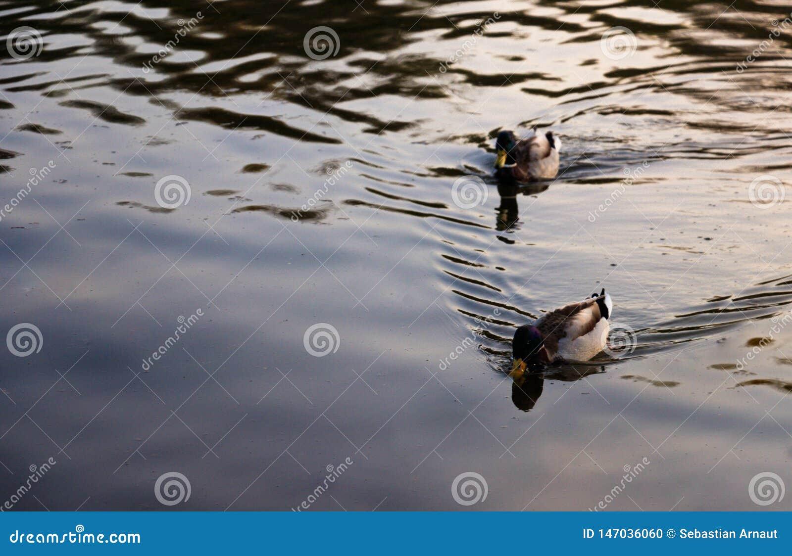 Due anatre selvatiche che galleggiano sul lago