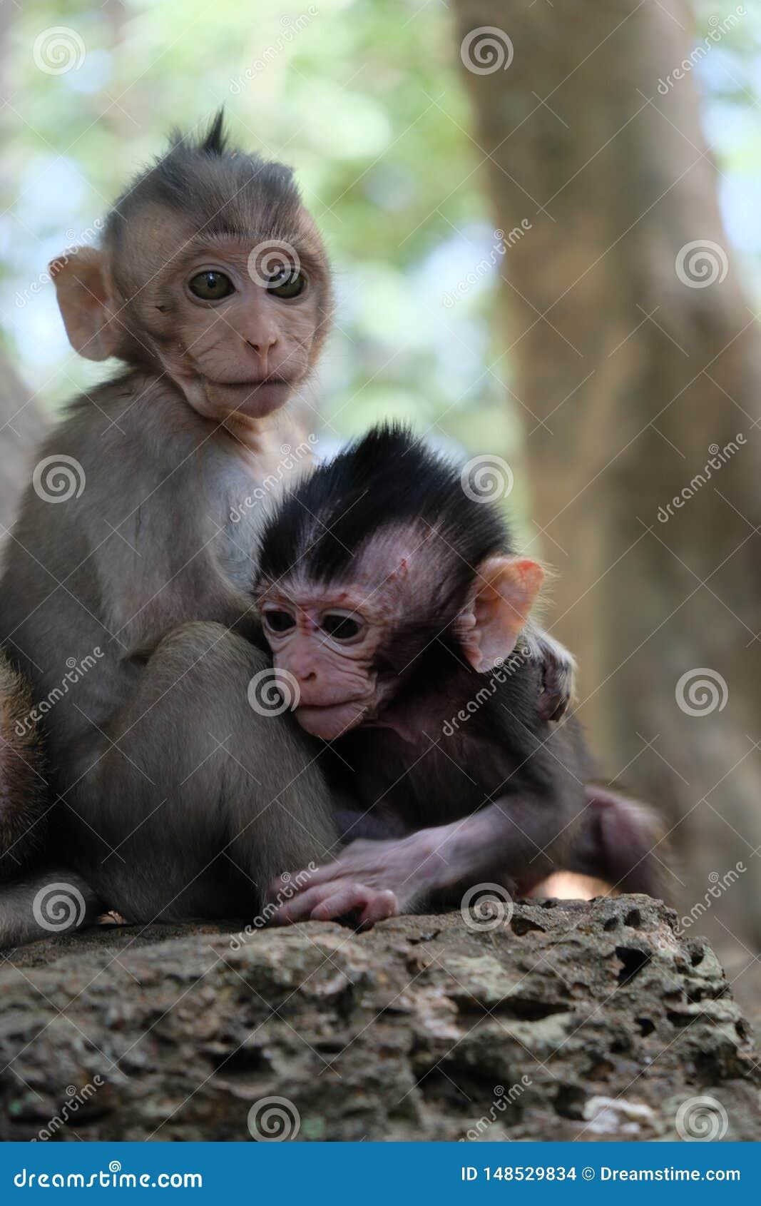 Due bambini della scimmia in Angkor, Cambogia