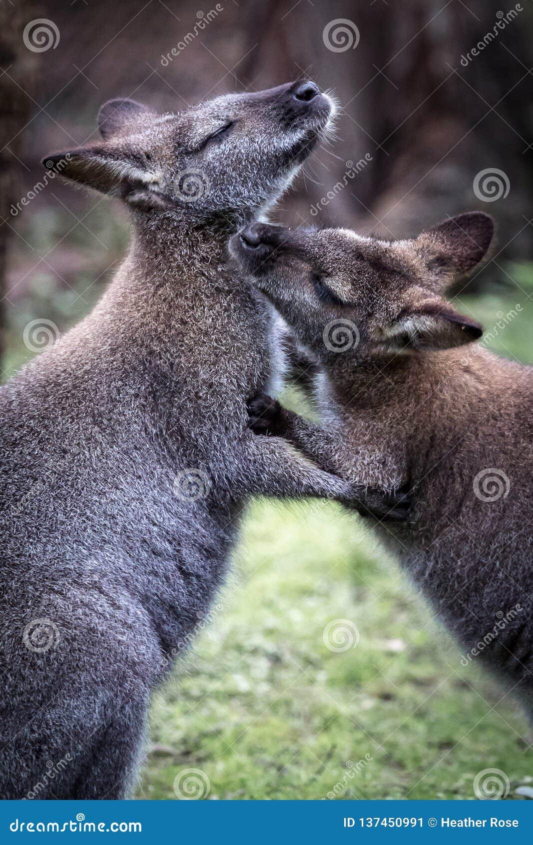 Due canguri australiani che si governano