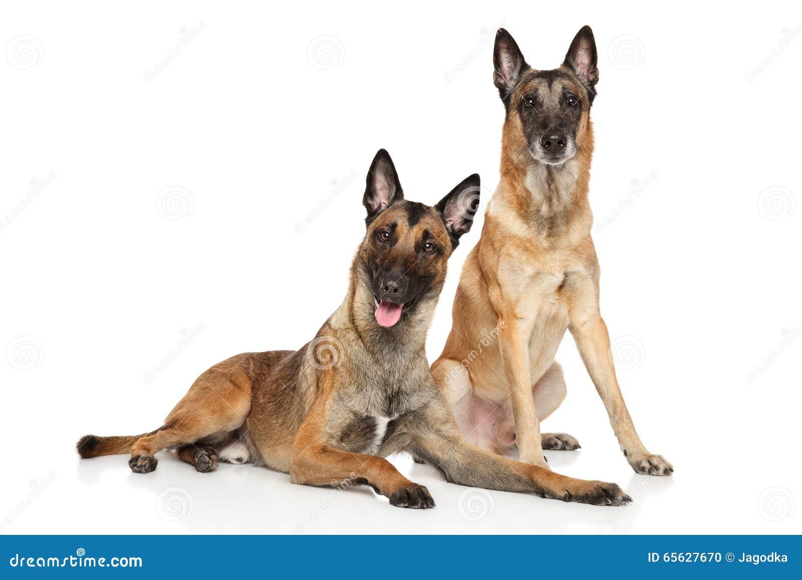 Due cani da pastore di Malinois del belga