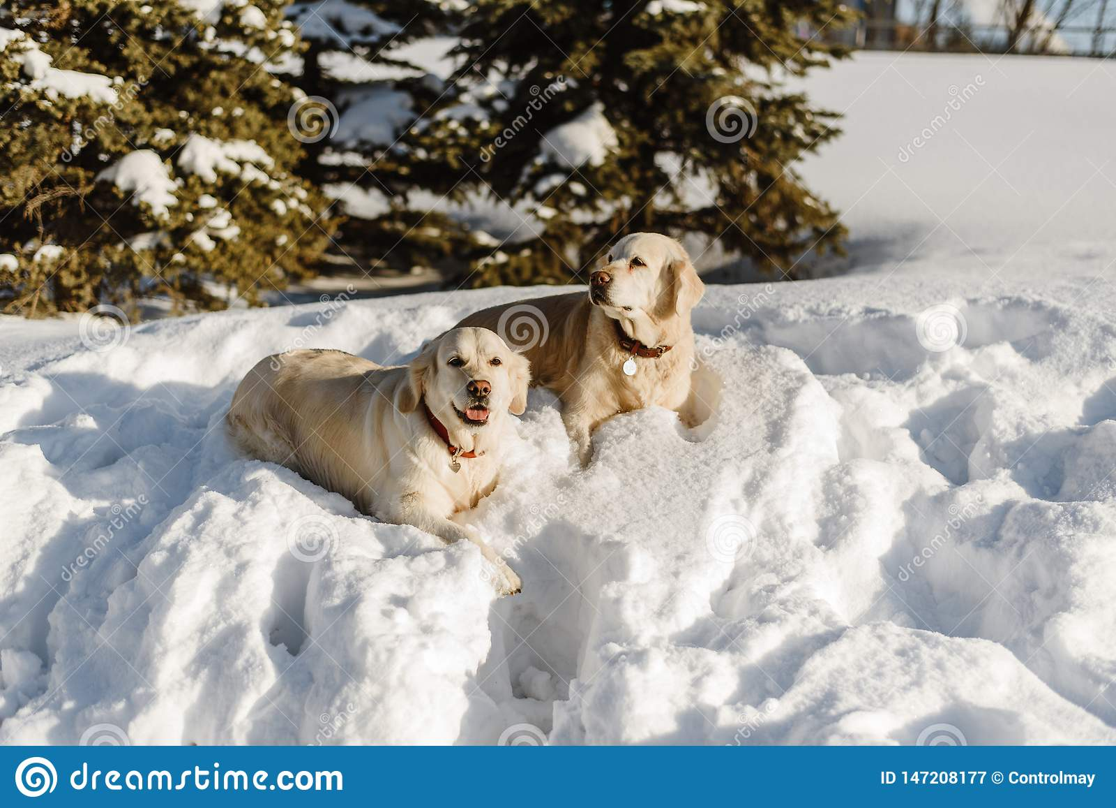 Due cani di labrador nella neve