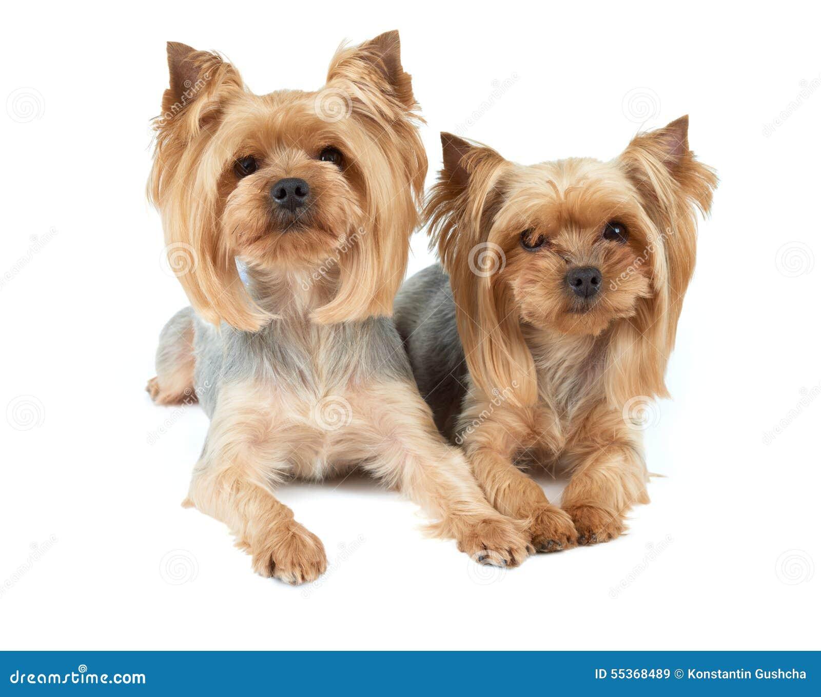 Due cani di taglio di capelli