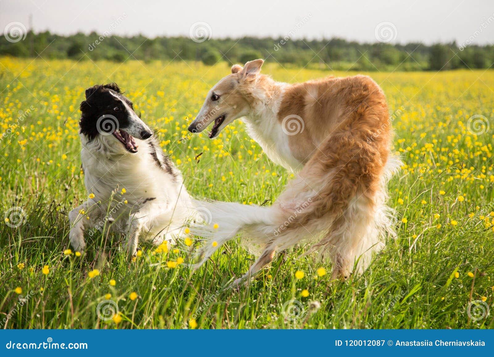 Due cani russi dei borzoi divertendosi nel prato del ranuncolo Ritratto di gioco dei cani russi del wolfhound nel campo sopra
