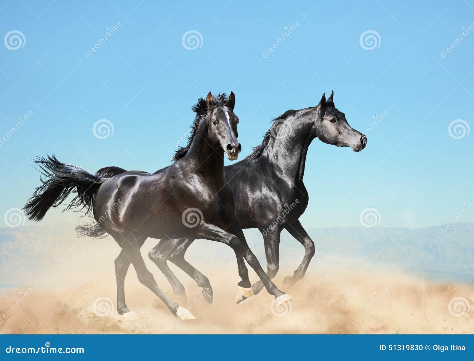Due Cavalli Arabi Neri Che Corrono Nel Deserto Fotografia