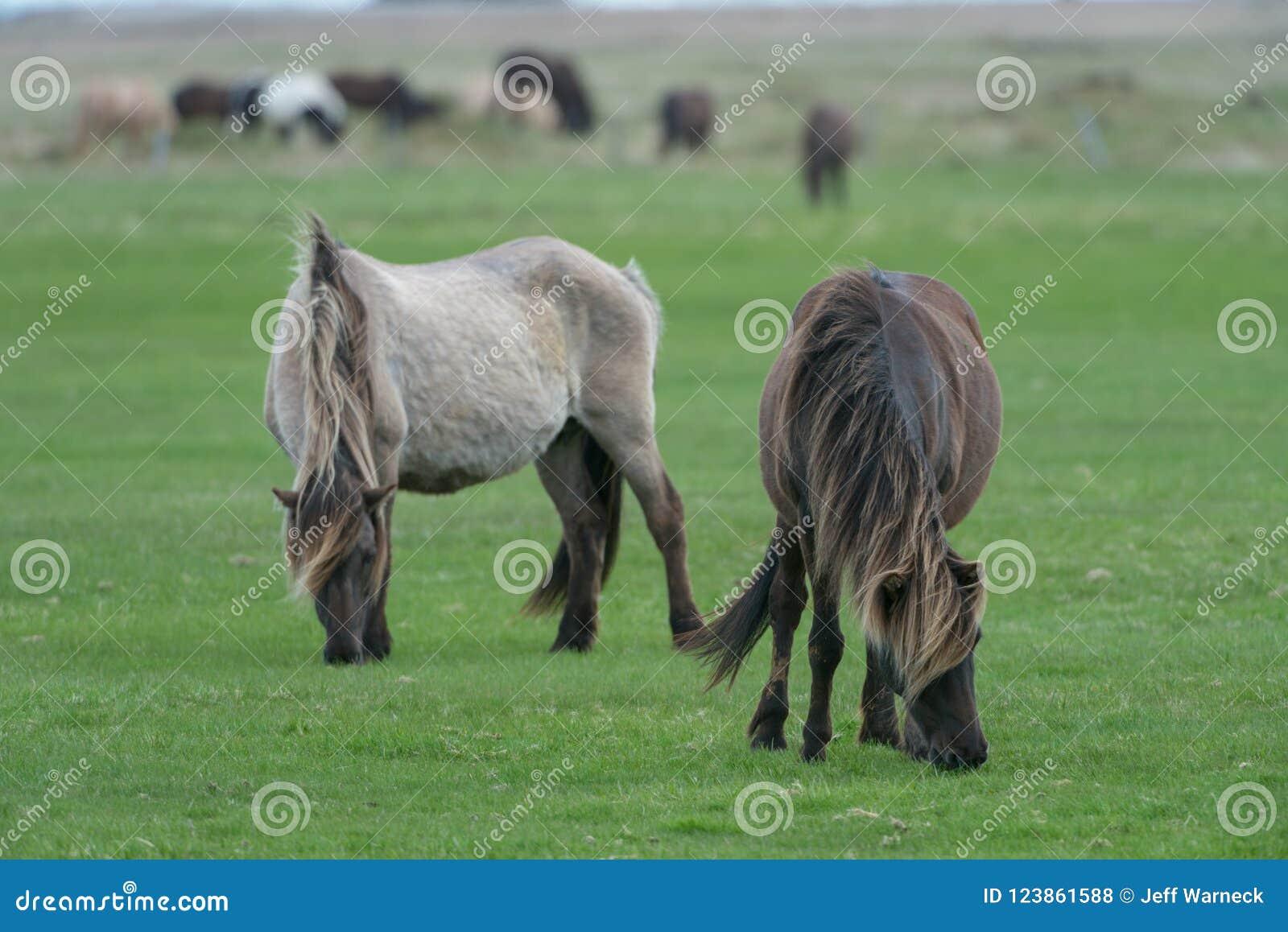 Due cavalli che pascono in un pascolo