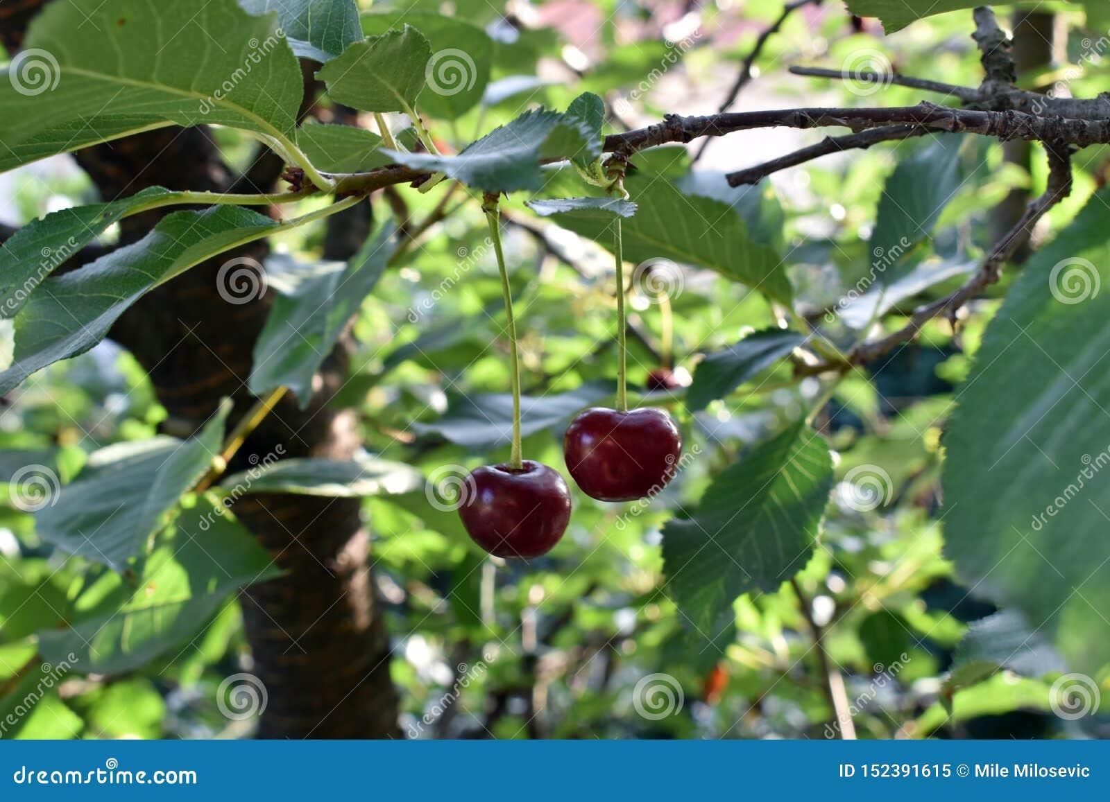 Due ciliege sul ramo