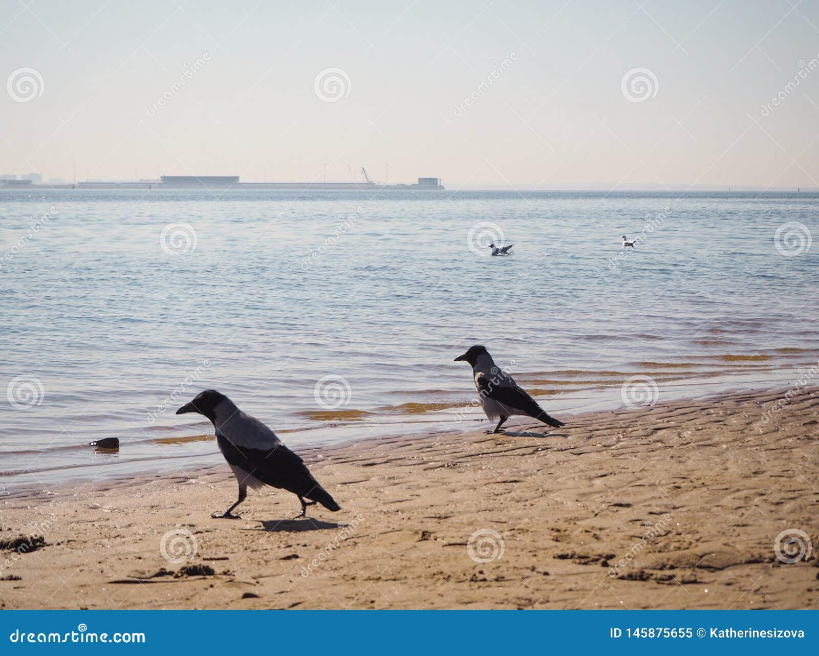 Due corvi stanno camminando sulla spiaggia