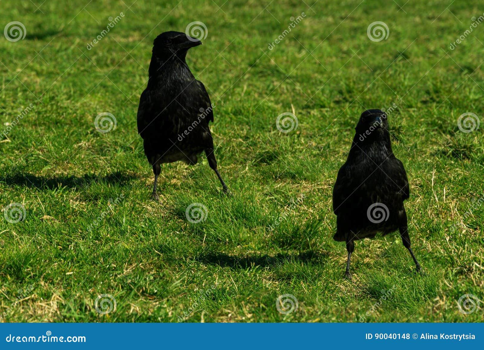 Due corvi su erba verde