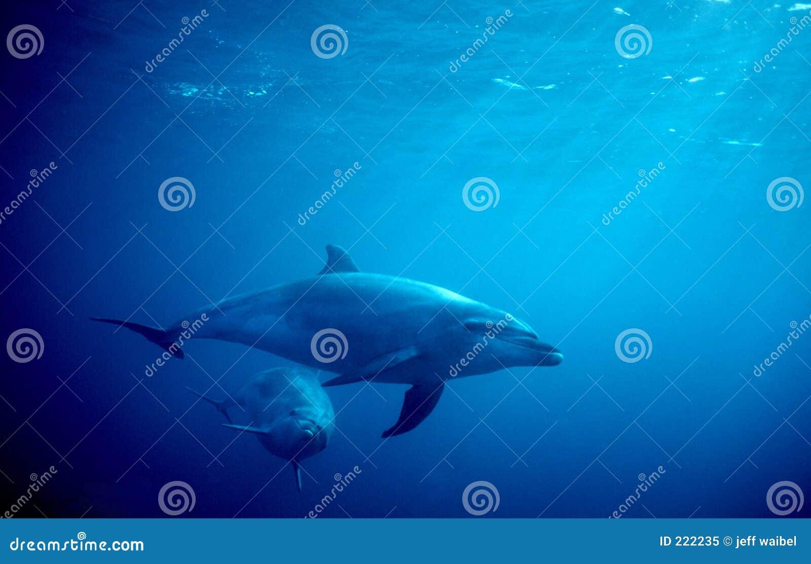 Due delfini in oceano