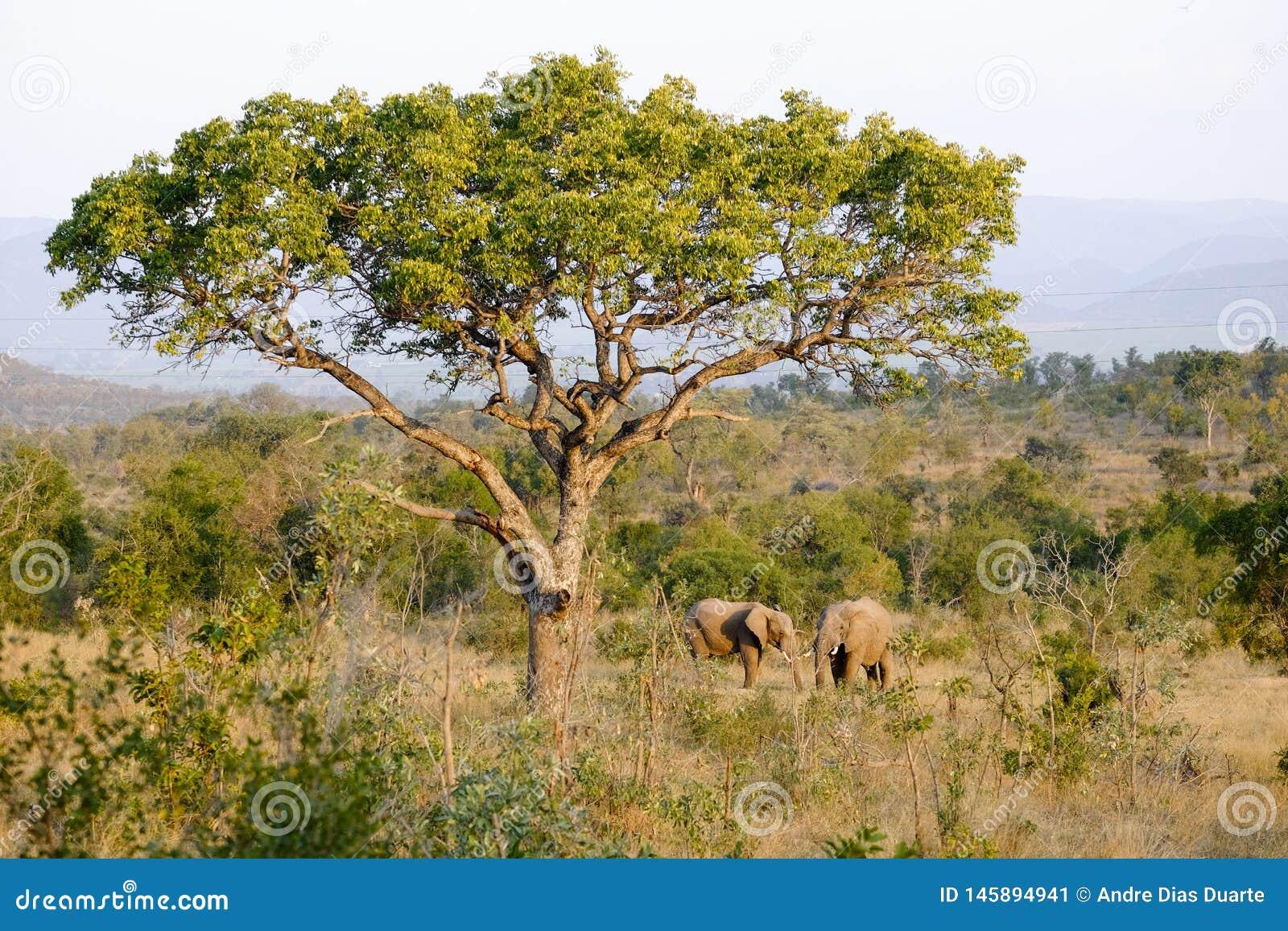 Due elefanti africani sotto un grande albero del baobab