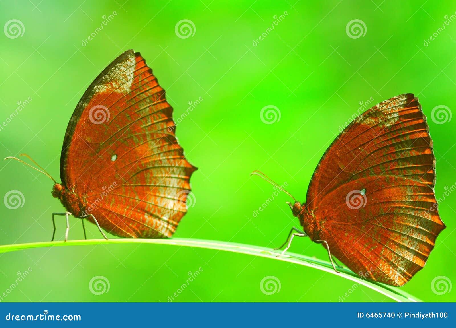 Due farfalle