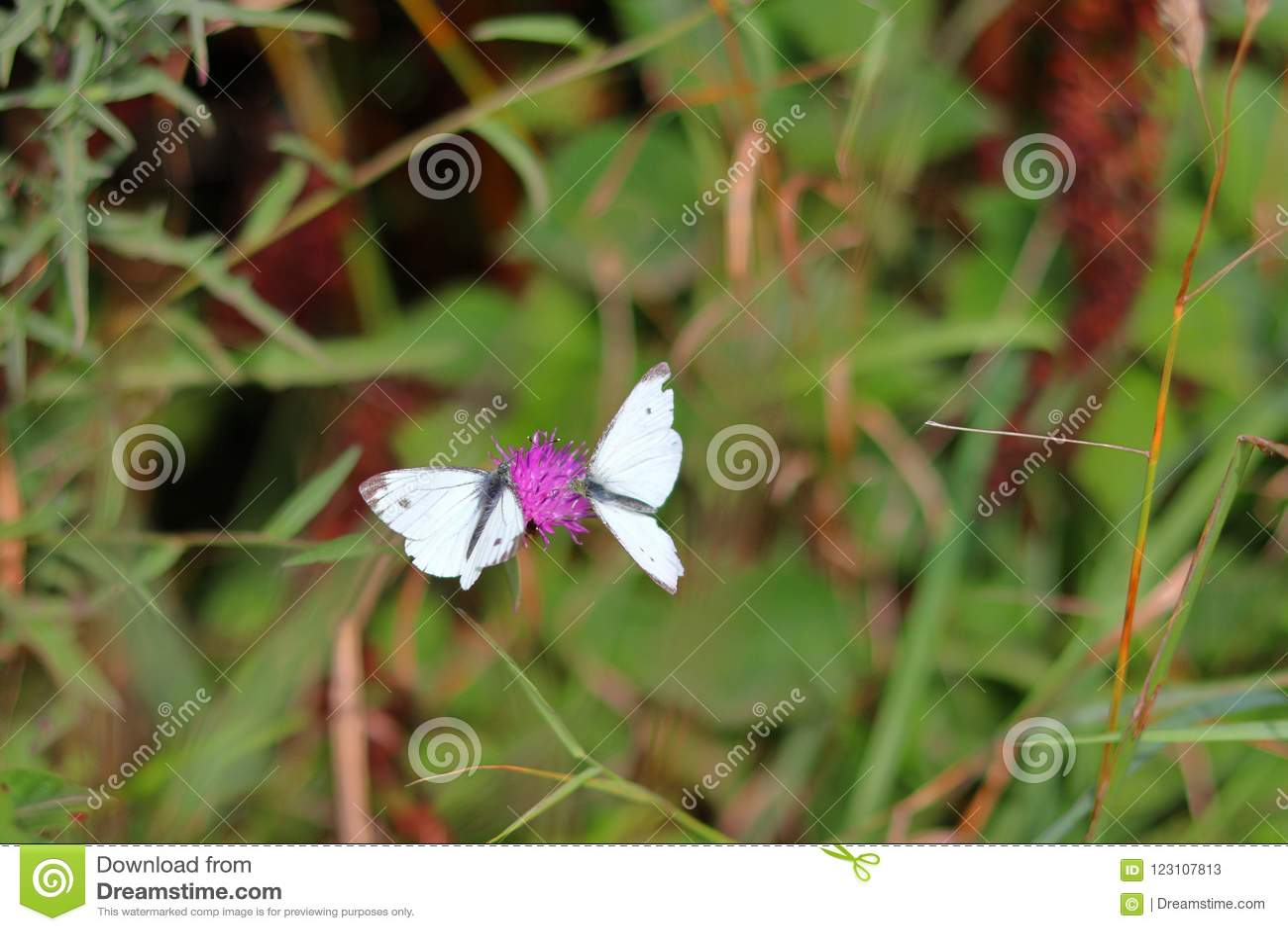 Due farfalle sul fiore