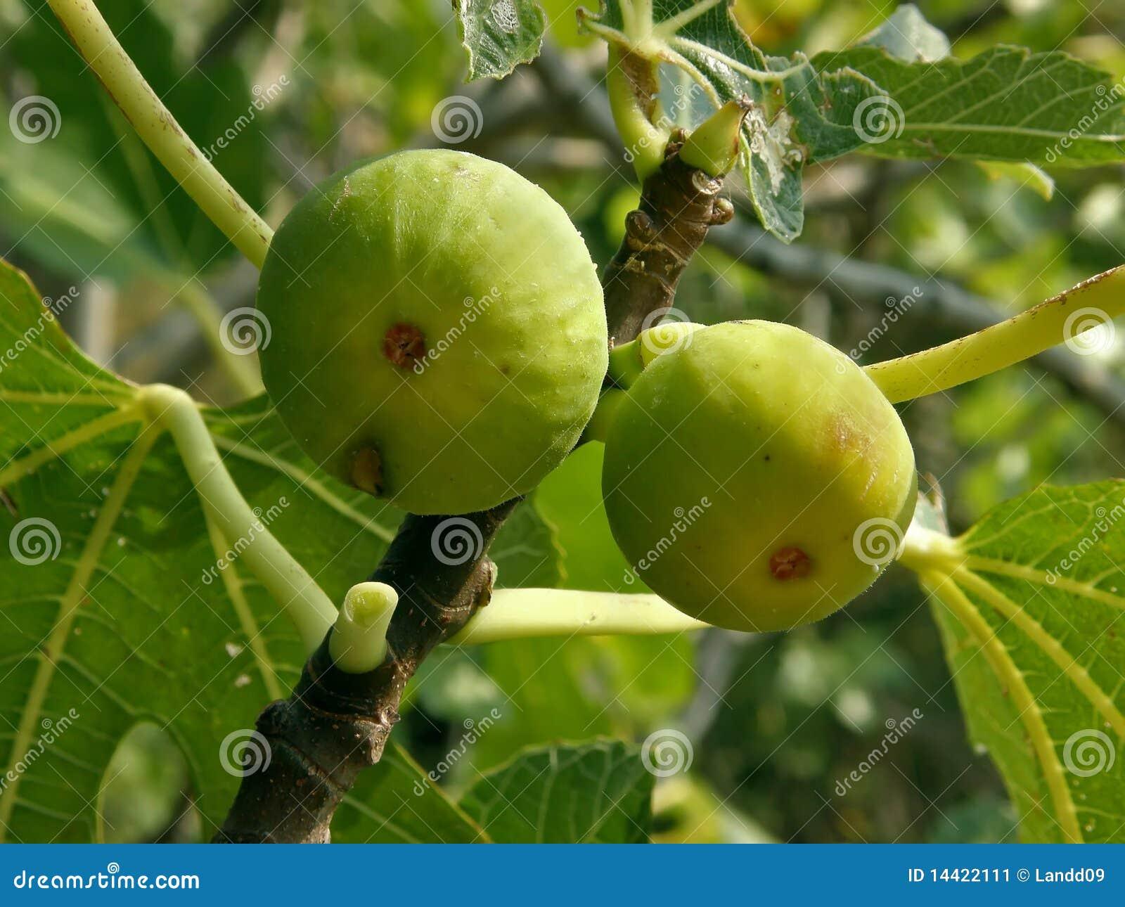 Due fichi su un albero di fico immagine stock immagine for Albero fico prezzo