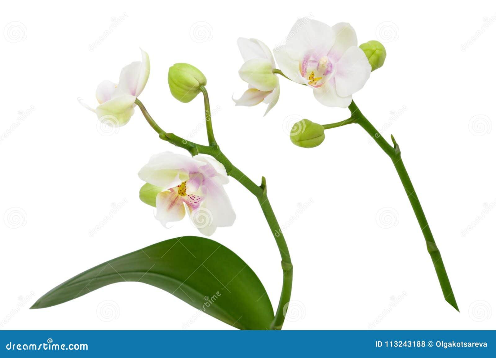 Fiori Orchidea Bianchi.Due Fiori Bianchi Dell Orchidea Sul Gambo Con Le Foglie Isolate Su