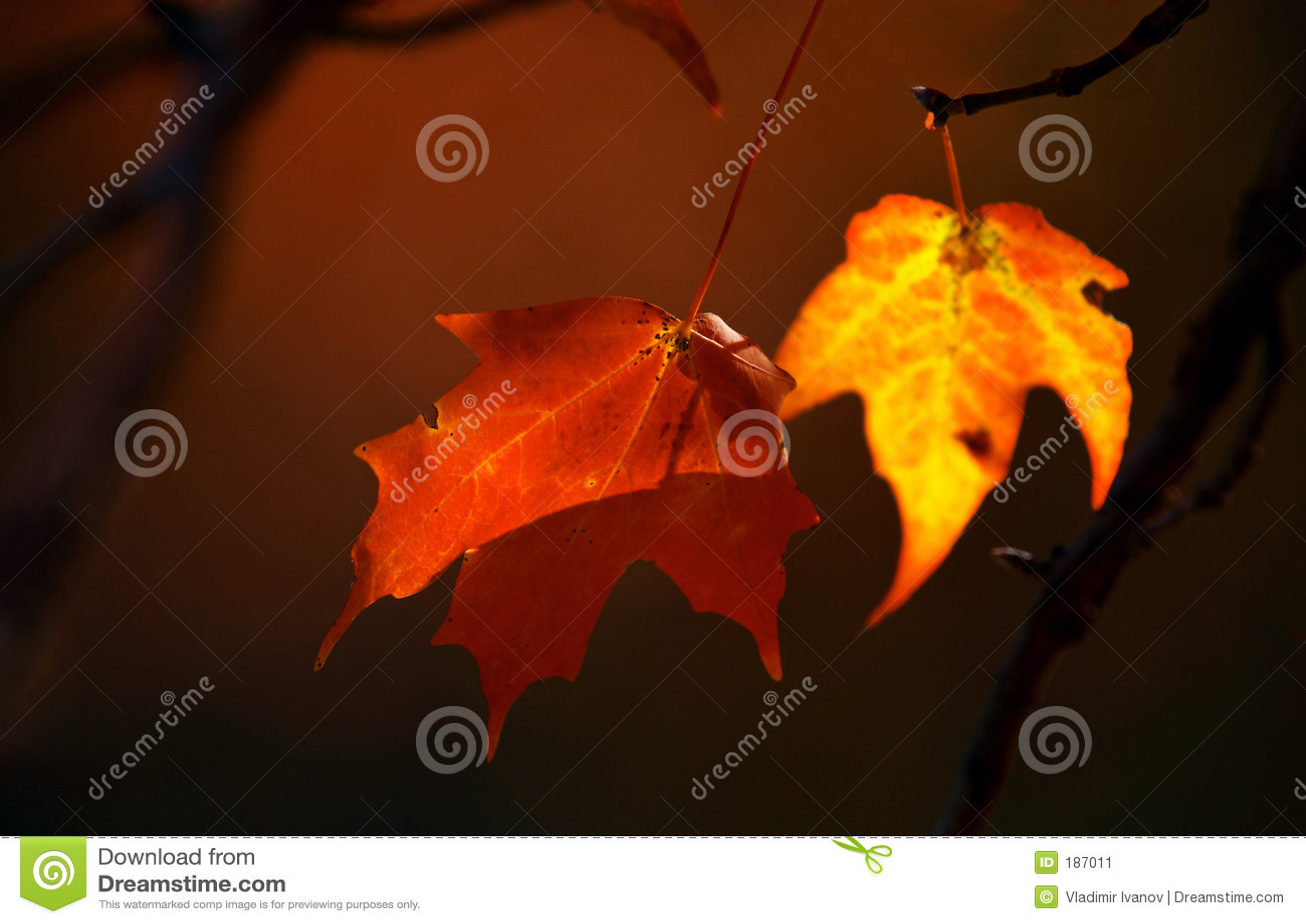 Due foglie di acero