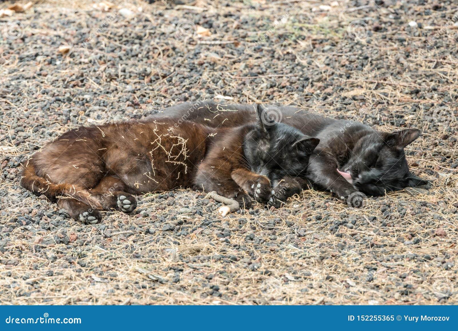 Due gatti selvaggi che si divertono vicino alla spiaggia di Caleta nell isola di Gomera della La Sonni delle coppie dolce, prende
