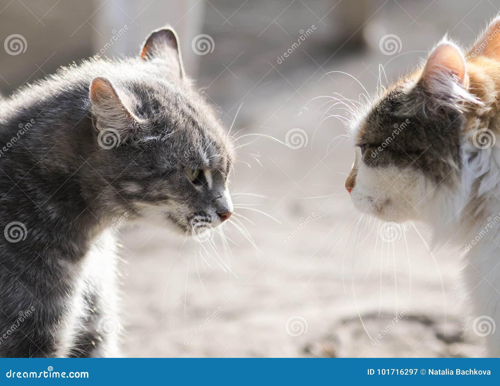 Due gatti stanno stando di fronte a vicenda aggressivo ed alla malvagità Mo