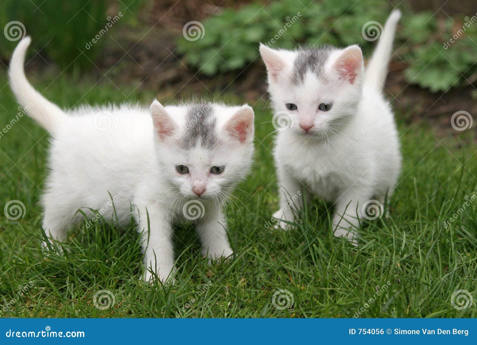 Estremamente Due gattini bianchi fotografia stock. Immagine di insieme - 754056 LL24