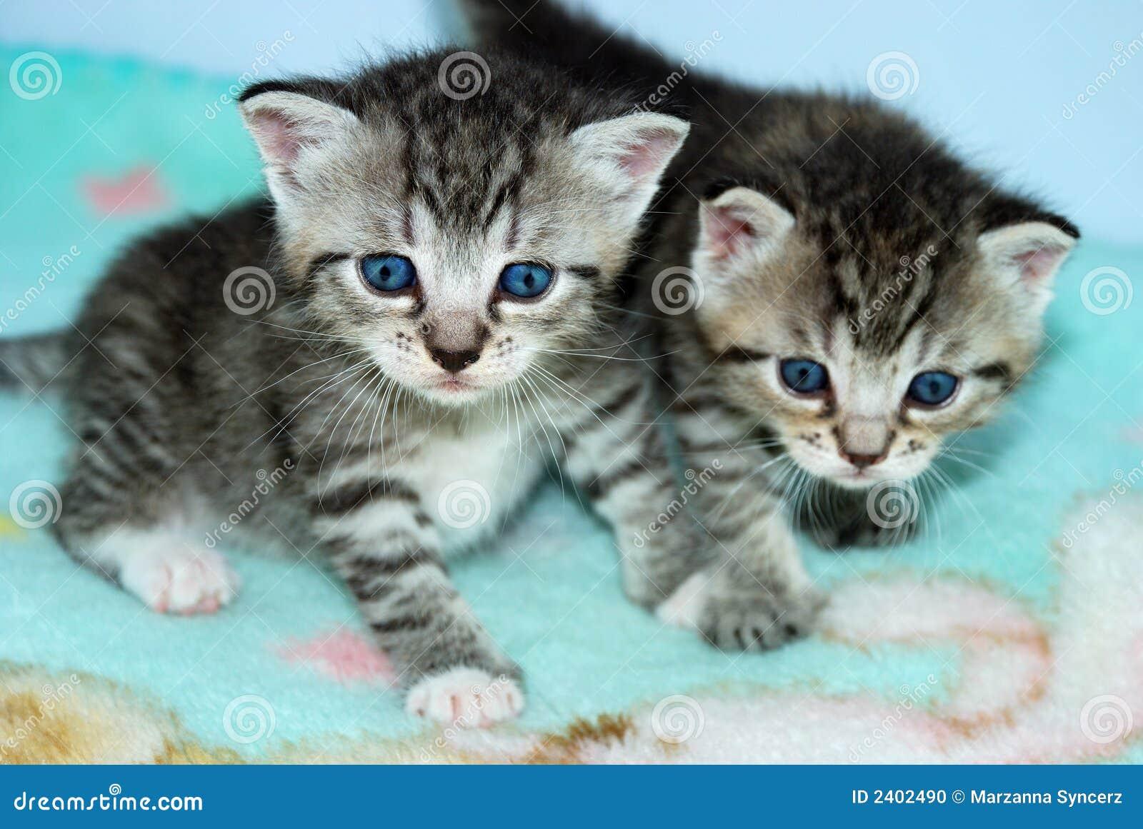 Super Due Gattini Molto Piccoli Del Tabby Fotografia Stock - Immagine  VT45