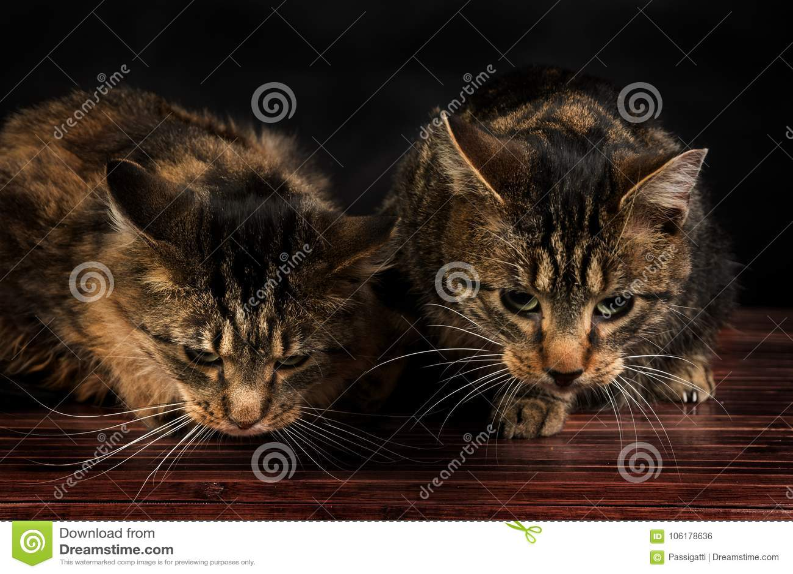 Due gattini svegli del soriano che si siedono sul pavimento
