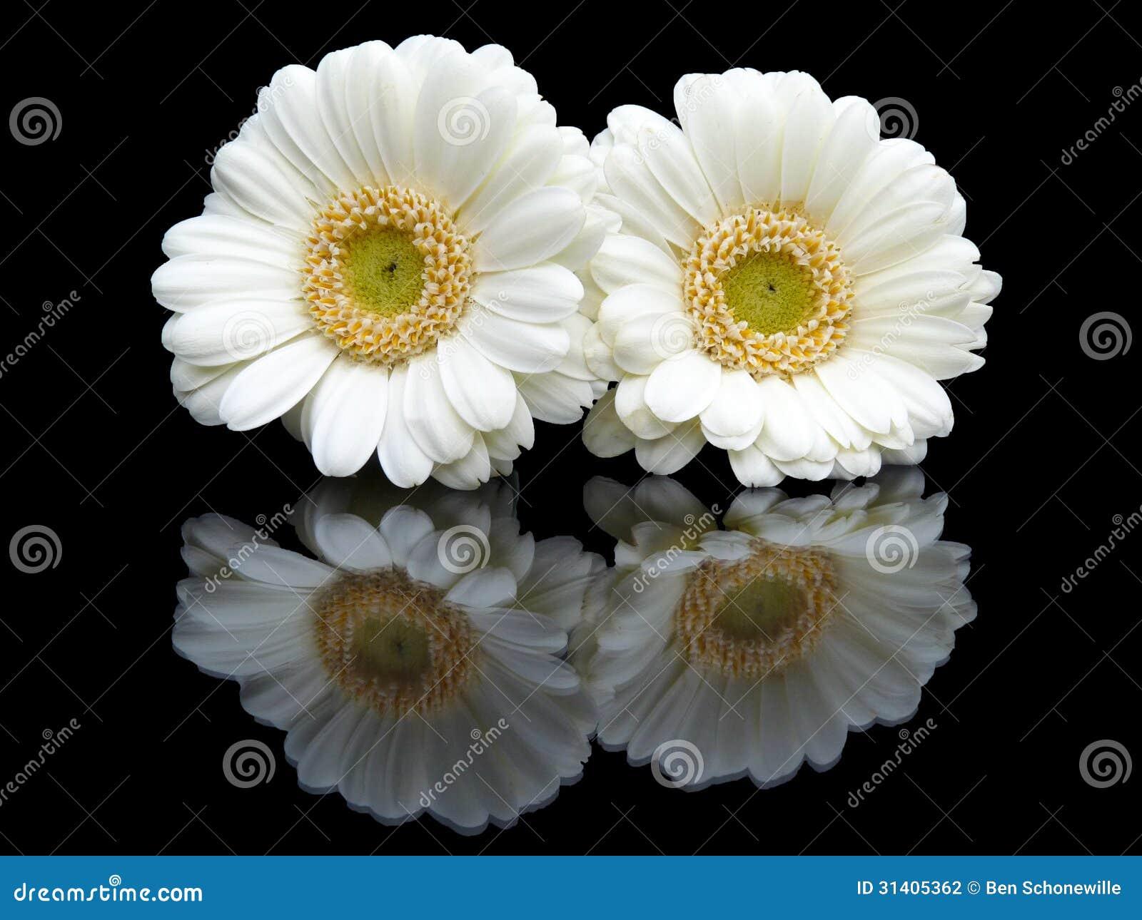 Due gerbere bianche con l 39 immagine di specchio sul nero fotografia stock immagine 31405362 - Specchio che si rompe da solo ...
