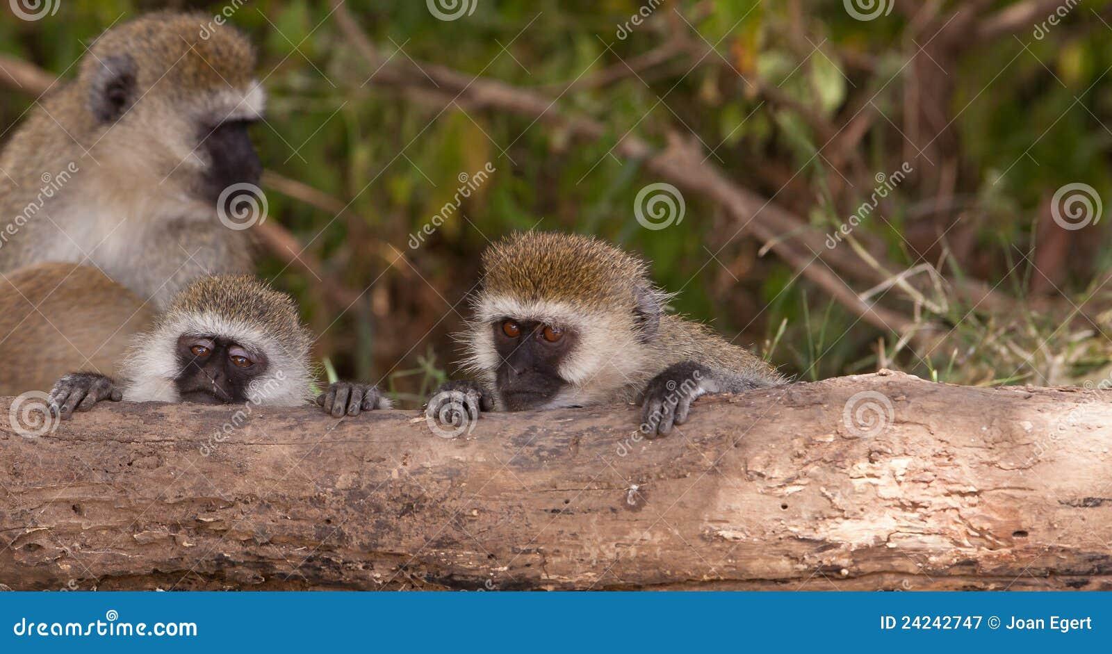 Due giovani scimmie di Vervet