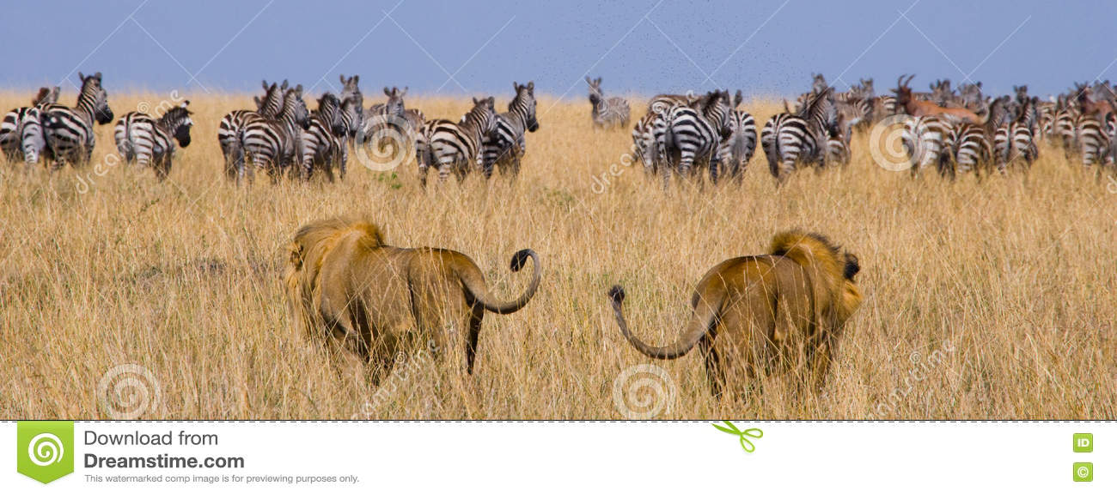 Due grandi leoni maschii sulla caccia Sosta nazionale kenya tanzania Masai Mara serengeti