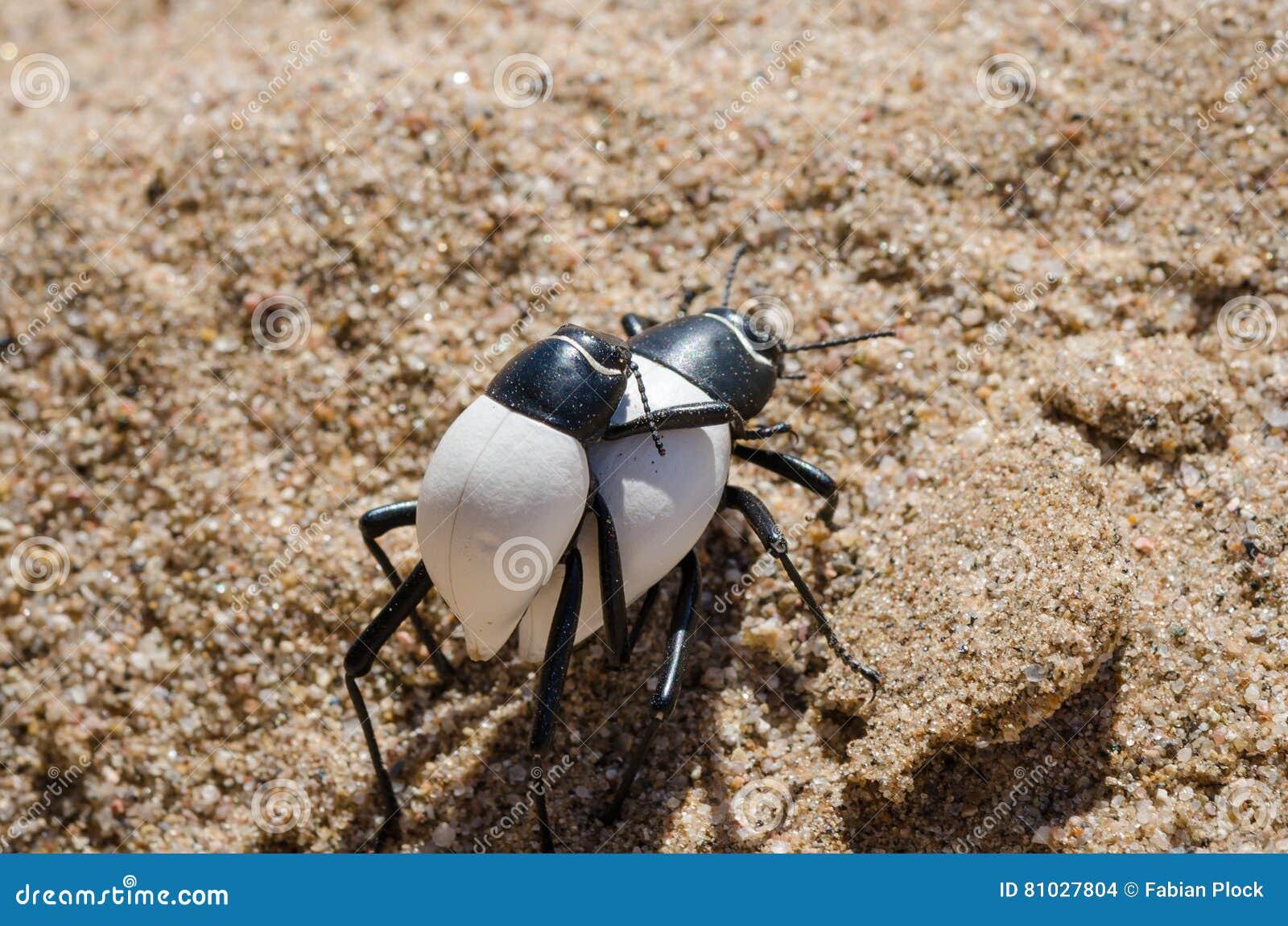 Due insetti in bianco e nero che si portano trasportano sulle spalle sopra la sabbia calda del deserto di Namib in Angola