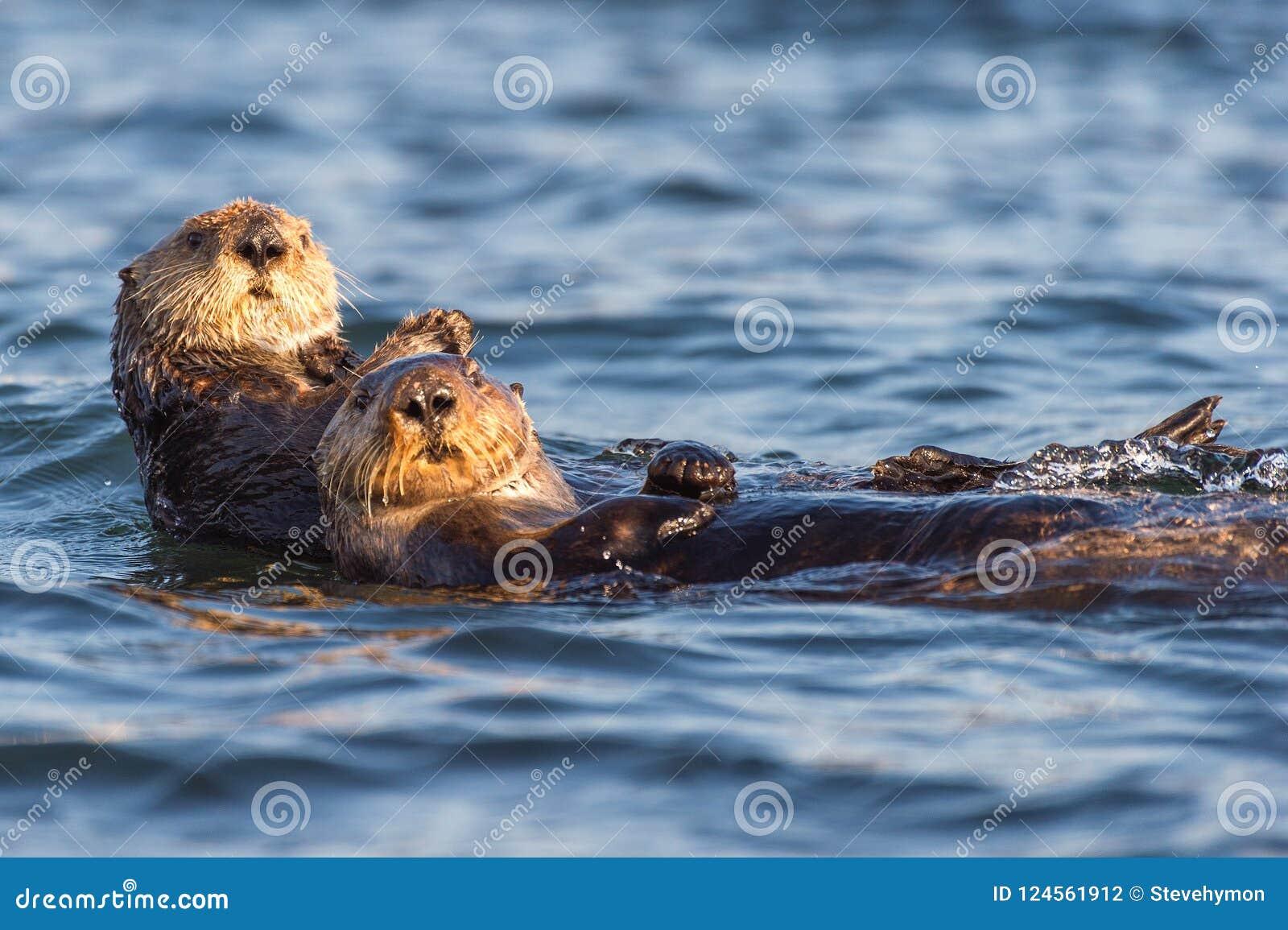Due lontre di mare che galleggiano in Morro abbaiano, la California