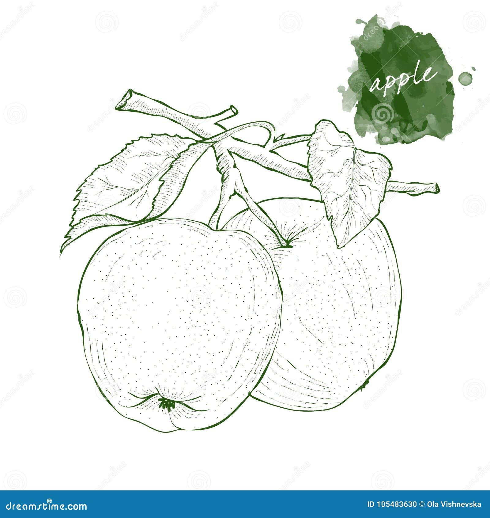 Due mele su un ramo con le foglie Schizzo disegnato a mano s del raccolto