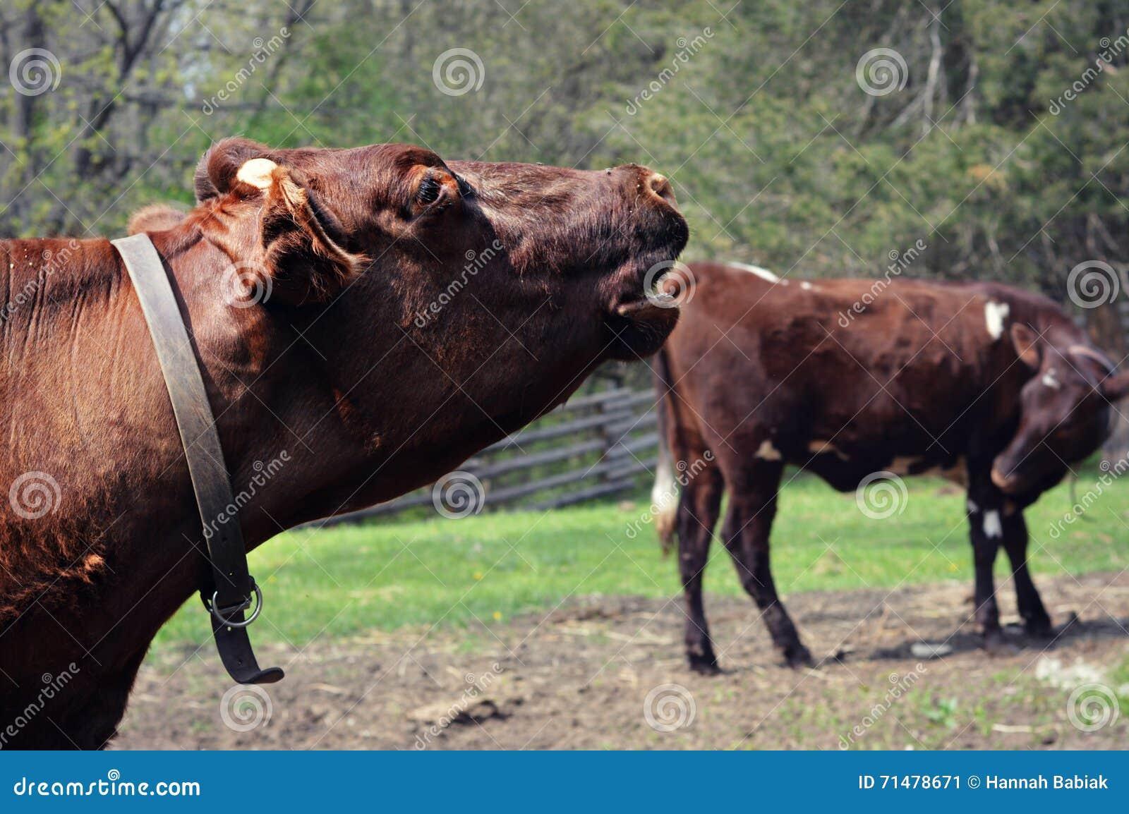 Due mucche