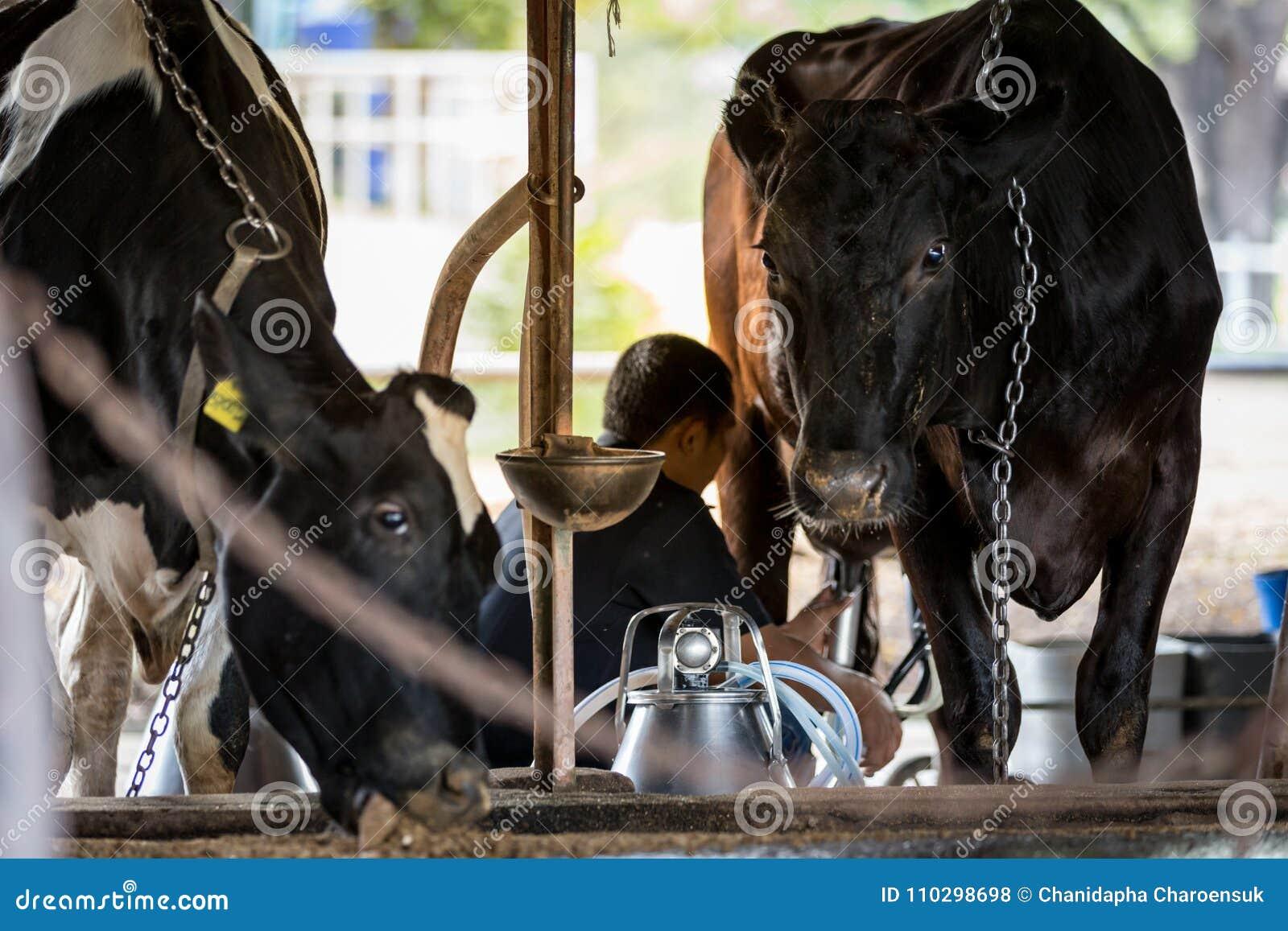 Due mucche in azienda lattiera ed in un uomo sta mungendo la mucca nera