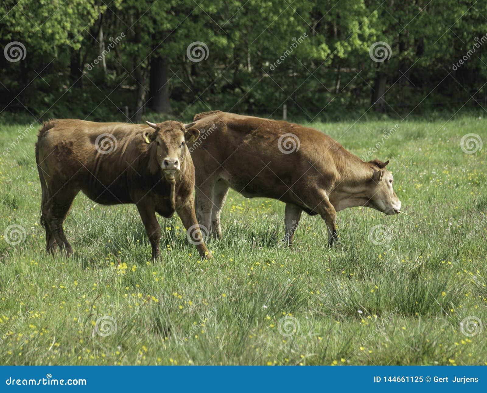 Due mucche di pascolo in un pascolo