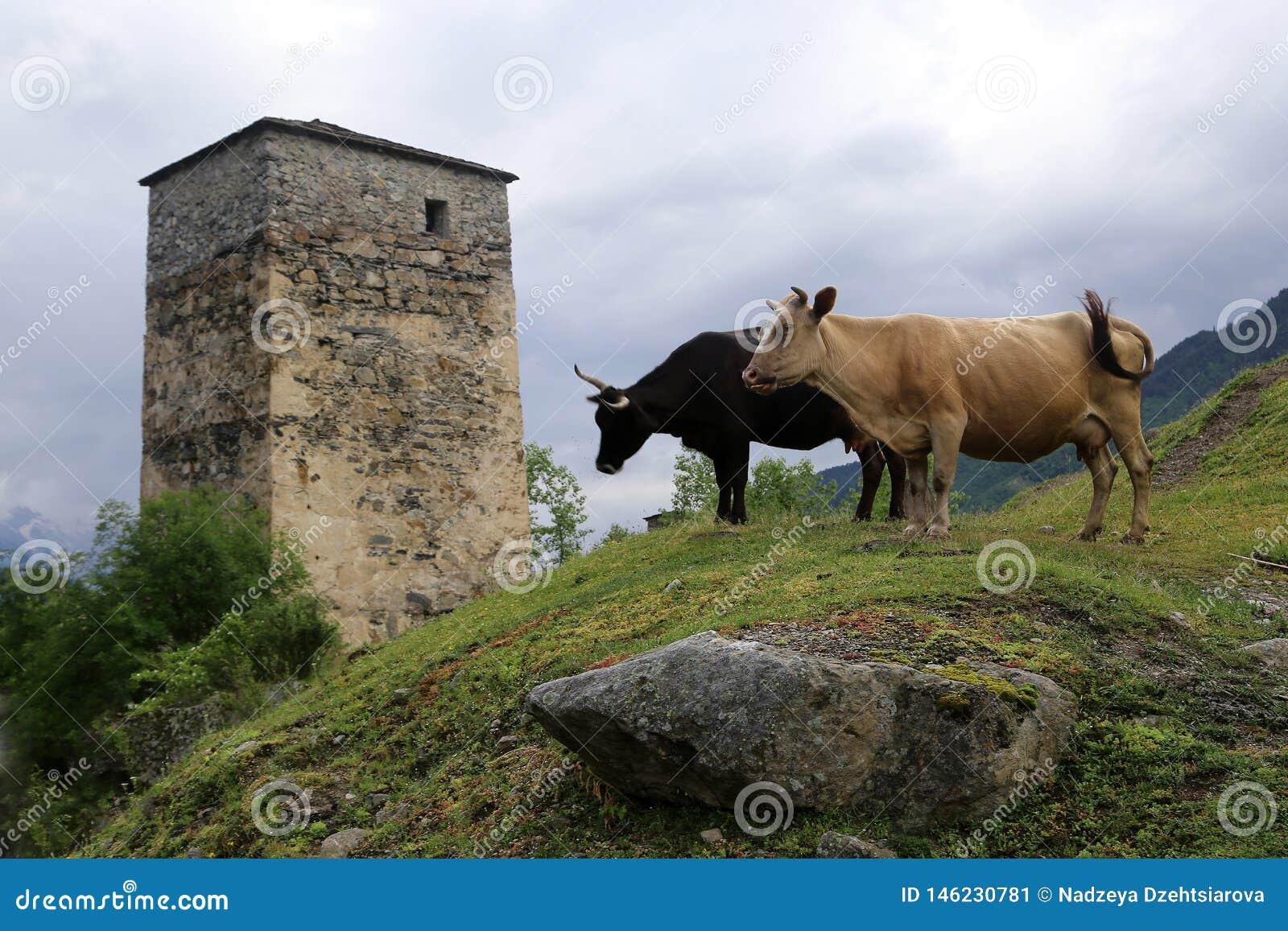 Due mucche su un pendio di collina, contro il contesto della torre di Svan