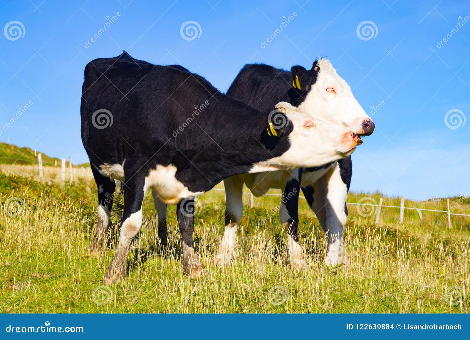 Due mucche in un campo dell azienda agricola