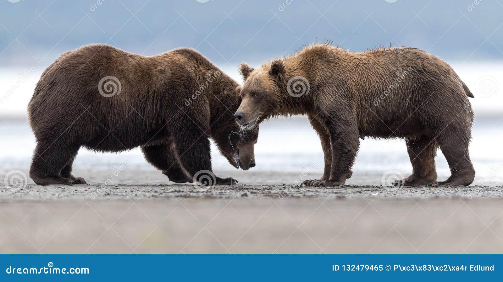 Due orsi grigii arrabbiati studiano la possibilità di iniziare una lotta
