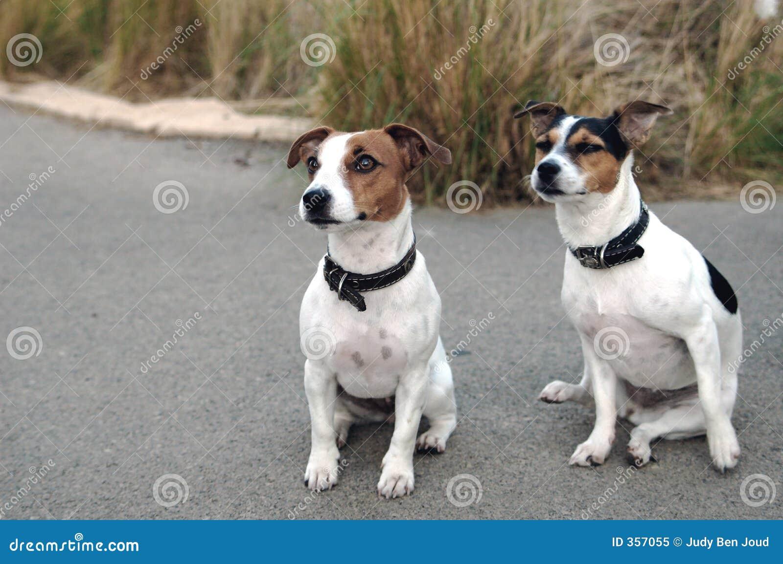 Due Piccoli Cani Del Jack Russel Fotografia Stock Libera