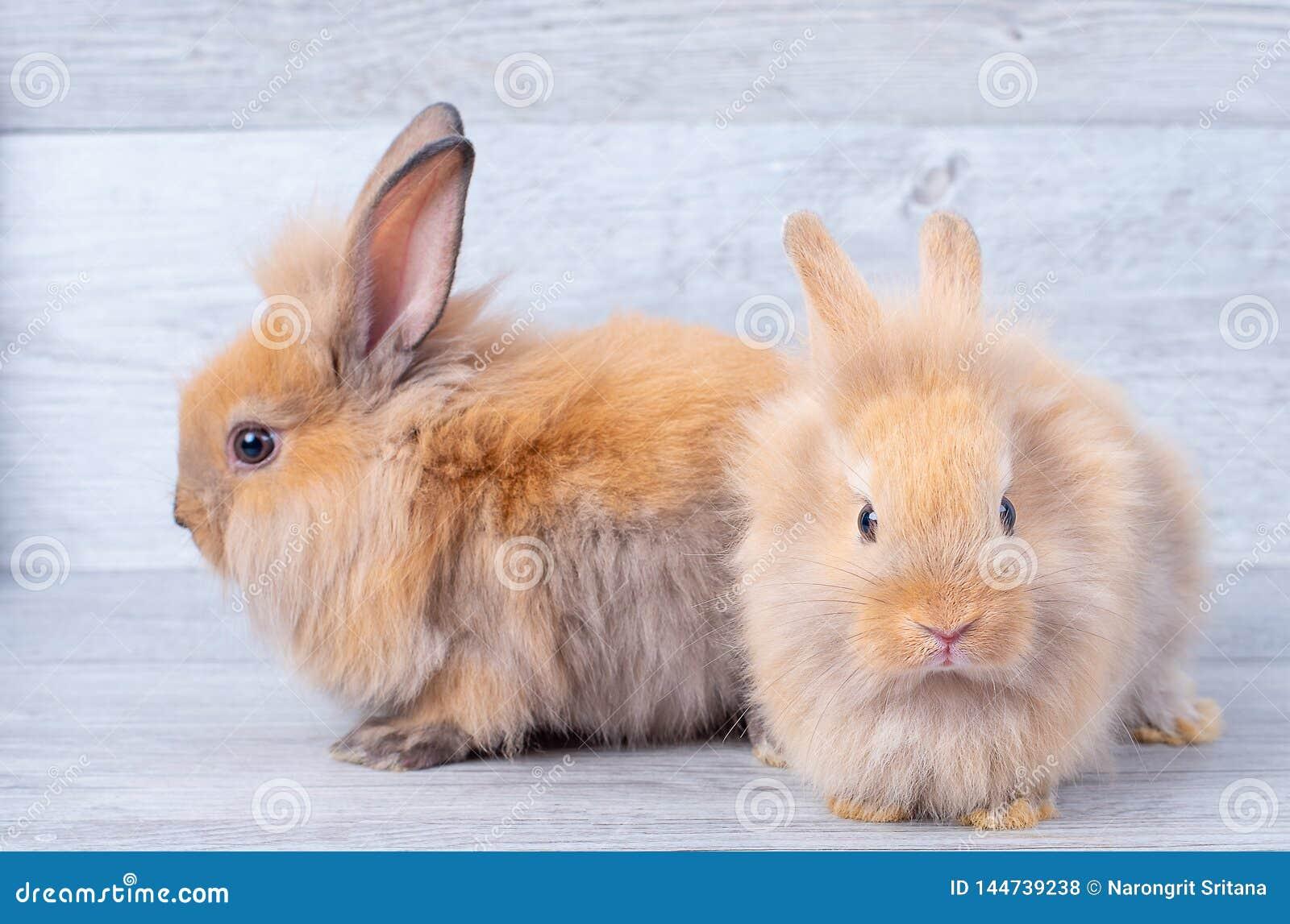 Due piccoli conigli di coniglietto restano sul fondo di legno grigio del modello con differenti posizioni