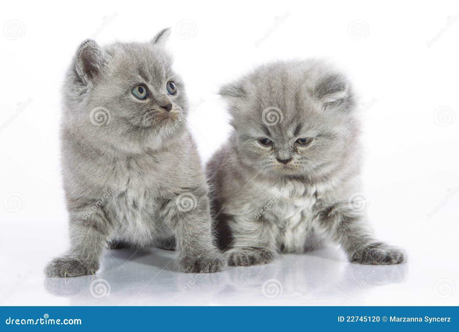 Due gattini grigi splendidi che si siedono parallelamente su una ...